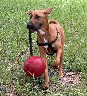 Cyrano - Bloodhound & Redbone Coonhound Mix